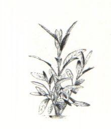 Salvia Da Colorare Of Piante Aromatiche