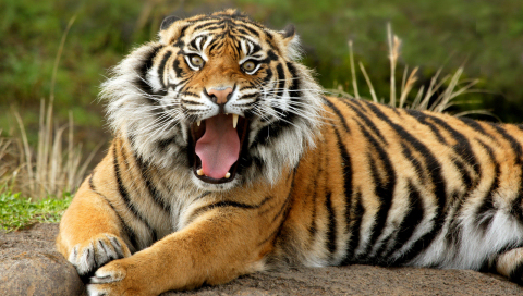 free downloading of sumatran tigers wiki