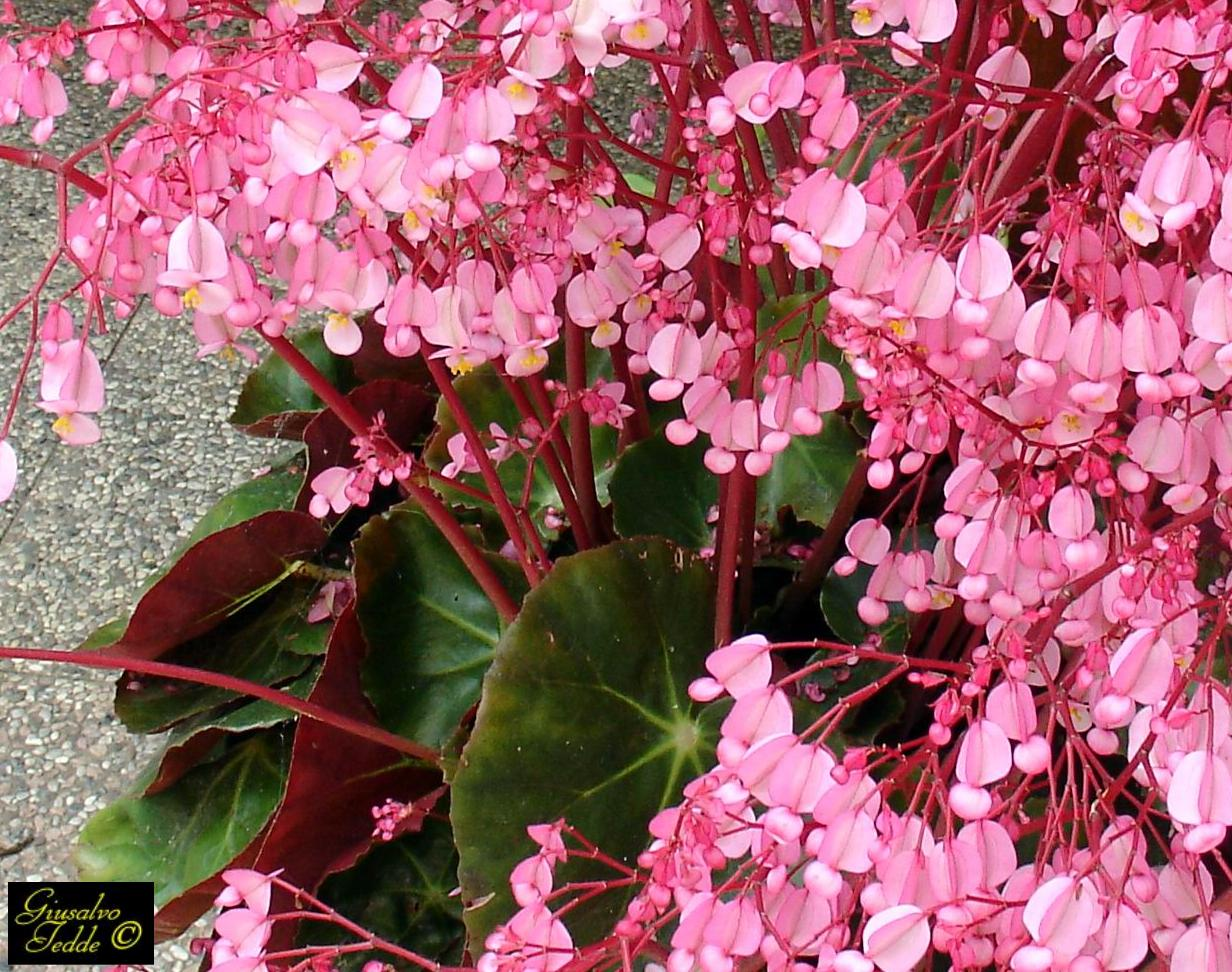 Il giardino di giusalvo for Begonia pianta