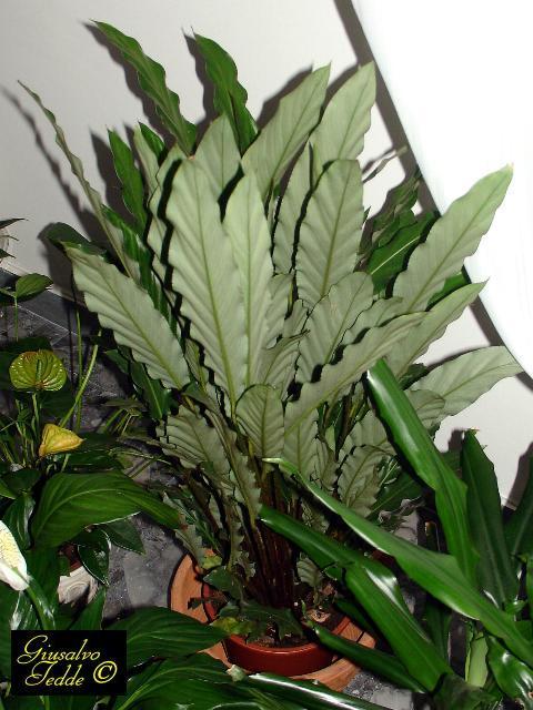 Il giardino di giusalvo for Maranta pianta