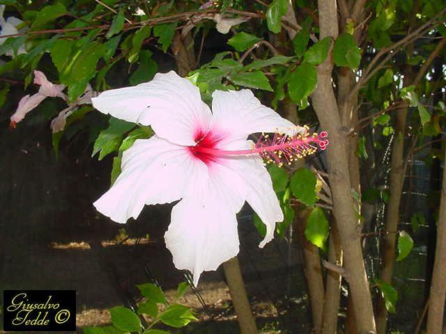 Il giardino di giusalvo for Arbusto dai fiori rosa e bianchi