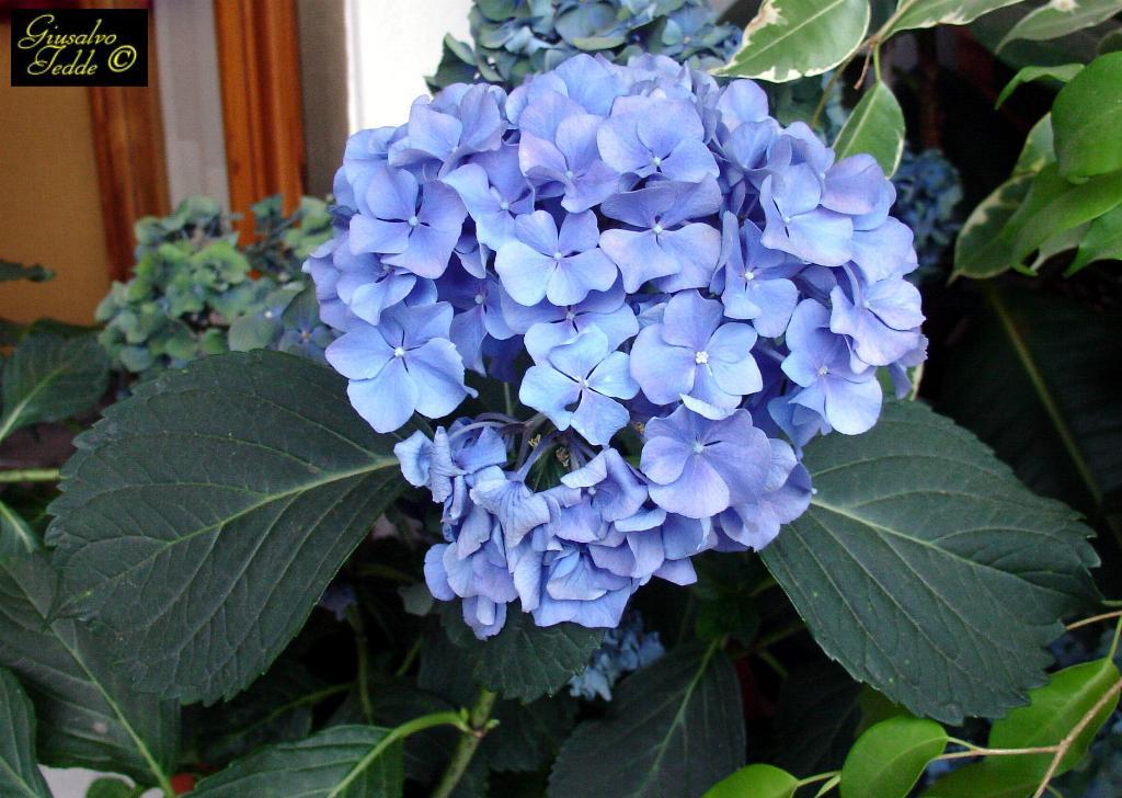 Il giardino di giusalvo - Ortensia blu ...