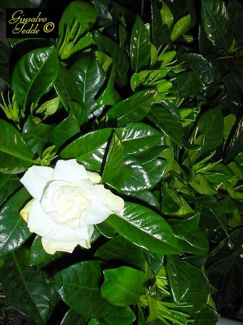 Il giardino di giusalvo - Gardenia pianta da giardino ...