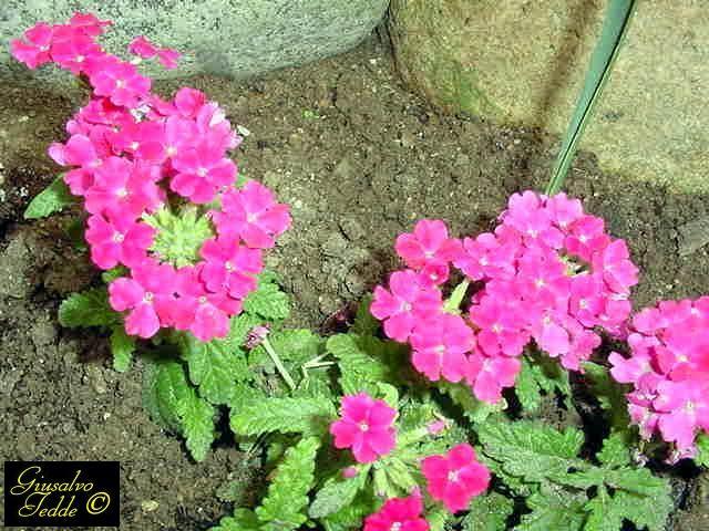 Il giardino di giusalvo - Verbena pianta ...