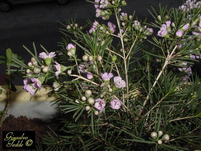 Il giardino di giusalvo for Pianta fiori di cera