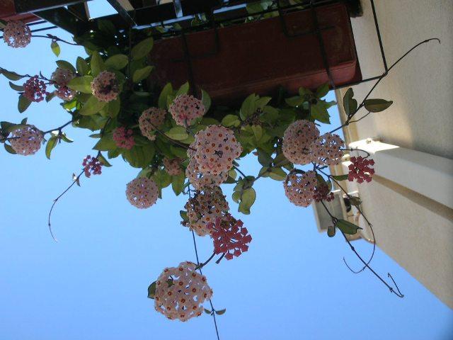 Pianta con fiori di cera pagina 4 for Pianta fiori di cera