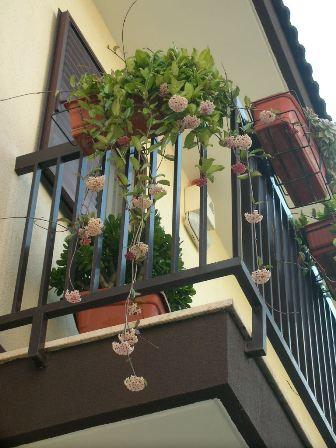 Pianta con fiori di cera pagina 4 for Pianta di cera