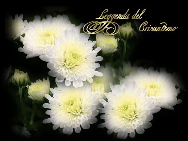 LEGGENDA DEL CRISANTEMO Crisantemo