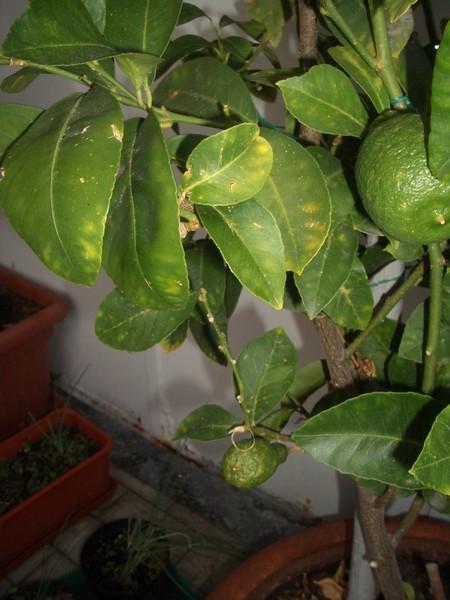 Malattie delle foglie del limone beautiful questuanno i - Malattie limone fumaggine ...