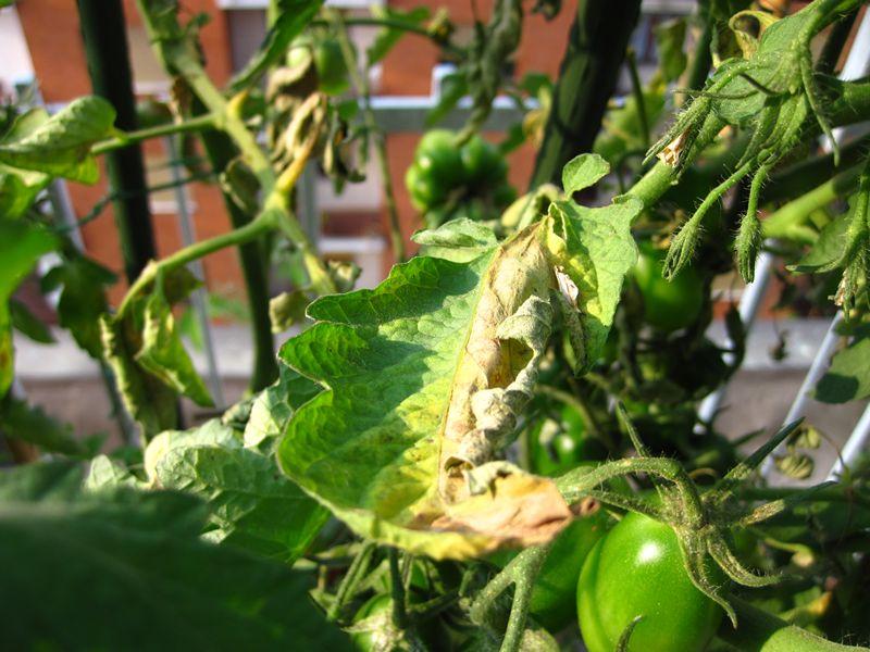 Problema con pomodoro forum di for Malattie pomodoro