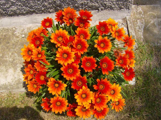 I fiori da giardino - Dalia pianta ...