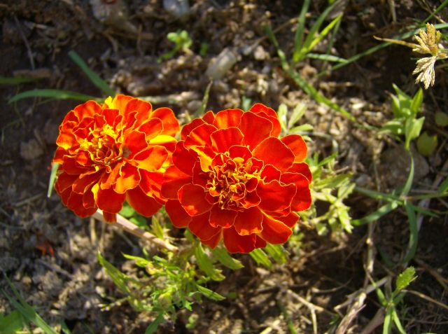 I fiori da giardino for Fiori grassi da giardino