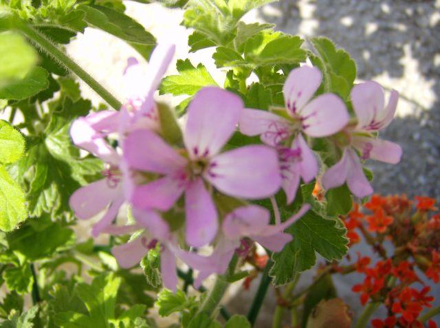 I fiori da giardino - Geranio odoroso ...