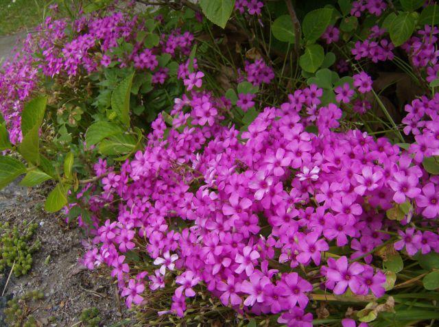 I fiori da giardino for Fiori da giardino