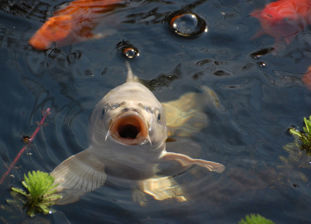 Pesci rossi golosoni come proteggerli dall 39 indigestione for Pesce rosso razza