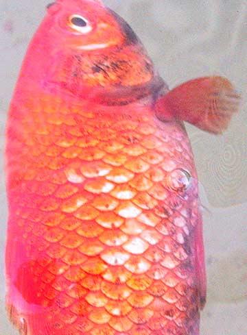 Pesci rossi del lagheto malati acquariforum for Razze di pesci rossi