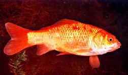 Carassius auratus for Pesce oranda