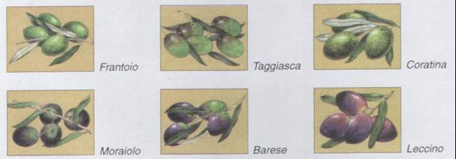 L 39 olivo - Tipi di olive da tavola ...