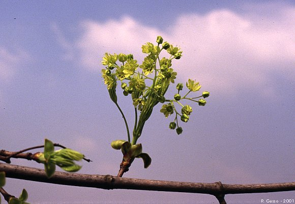 Acero riccio fiore for Acero riccio