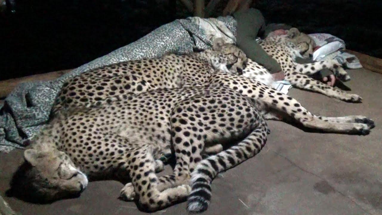 ghepardi dormono con uomo