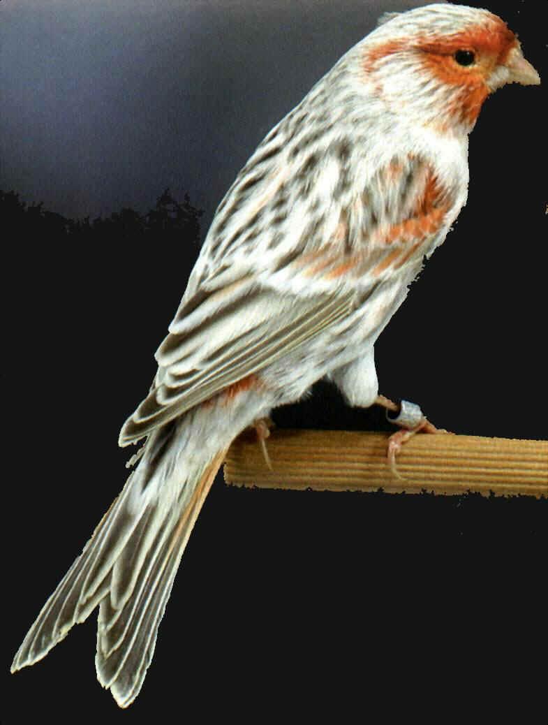 verdone uccelli