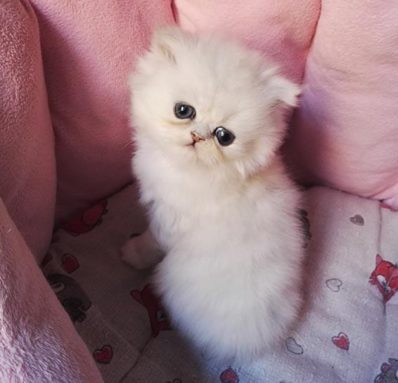 SILVERDORO Gattissimo gatti persiani, chinchillà silver e golden, allevamento amatoriale