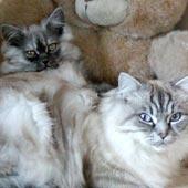 Gattissimo - gatti persiani colorpoint chinchillà silver shaded e siamesi