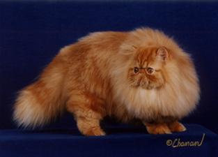 Il Persiano Tabby