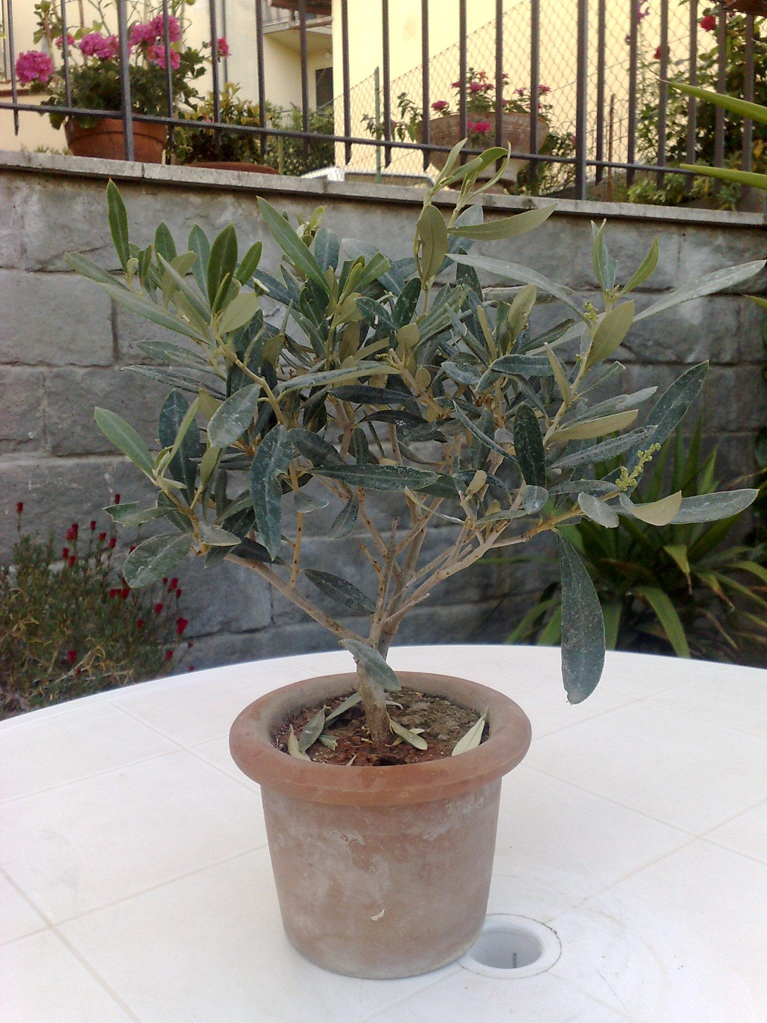 fi ulivo bonsai vendo