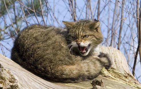 Il Gatto Selvatico è Caratterizzato Da Una Distribuzione