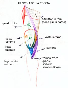 Anatomia for Esterno quadricipite