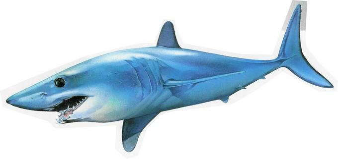 Gli squali pi famosi for Disegno squalo bianco