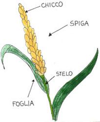 Un fiore tra le spighe di grano - Cruciverba