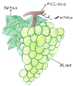 spesso Alla scoperta dell'uva OC96