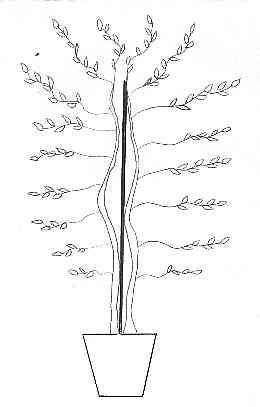 Il Rinvaso Di Un Ficus Benjamina