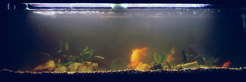 Help mi hanno regalato 4 pesci rossi acquariforum for Acquario marino 300 litri prezzo