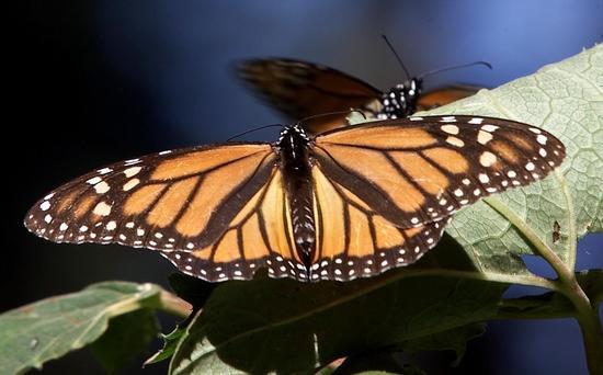 Leptiri - Page 2 Farfalla