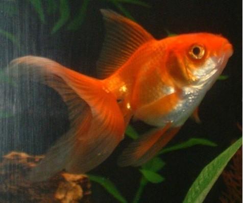 Pin pesce rosso calico black moore oranda chicco di riso for Pesce chicco di riso