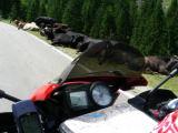 Silvretta: le mucche non pagano il pedaggio, ma i primi tornanti sono molto affollati ;)