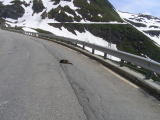 Tranquilli: la marmotta sta benissimo. Sta semplicemente leccando il sale ancora sparso sulla strada del Nufenen