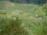 Nidi di cicogne tra Hunawihr e Ribeauvillè