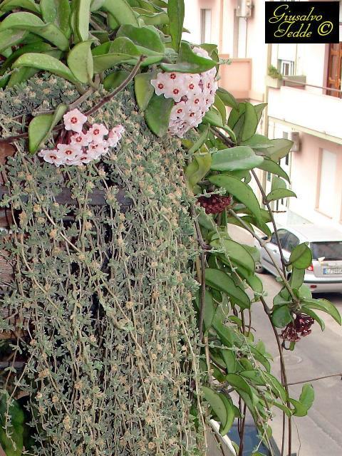 Hoya A Profusione Forum Di Giardinaggioit