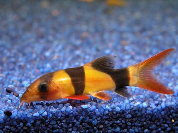 Botia for Pesce pulitore acqua dolce