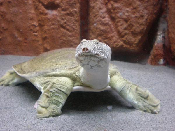 Tartaruga Dal Guscio Molle.Pelodiscus Sinensis