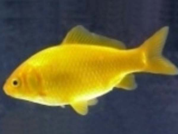 Altri acquari d 39 acqua fredda for Pesce rosso costo