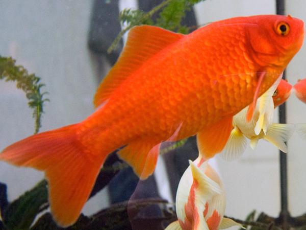 Pesce rosso comune for Pesce pulitore acqua dolce fredda