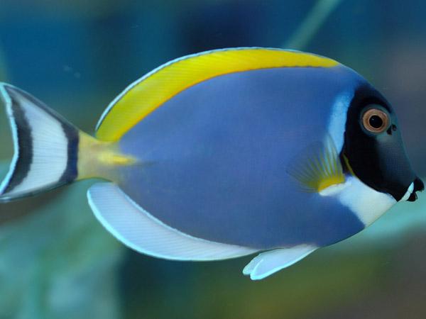 Pesci chirurgo for Immagini di pesci disegnati