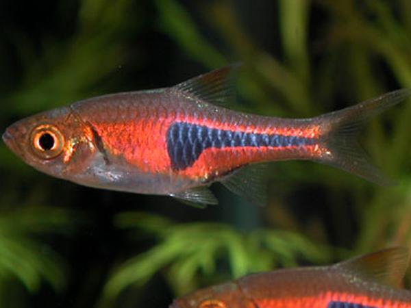 Rasbore for Pesci acqua fredda piccoli