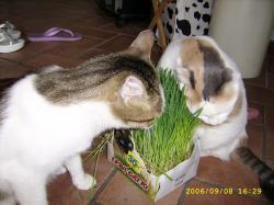 Erba gatta e la valeriana for Erba gatta effetti
