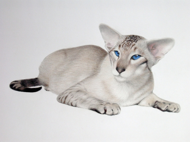 Сиамская кошка окраса Блю табби пойнт